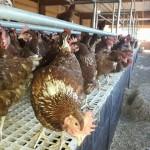 Actualizándonos en avicultura de puesta