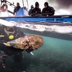 Eficaz rescate de Nacras para salvarlas de su extinción en España por el IMEDMAR-UCV