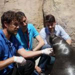 Laura, un león marino intervenido por una fractura de maxilar con la colaboración de nuestro Hospital Veterinario UCV.